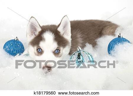 Husky Christmas Puppy.Christmas Husky Puppy Stock Image
