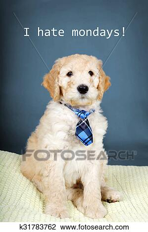 Cute Goldendoodle Pup With Tie Stock Image