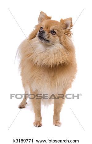 Cute Pomeranian Dog Clip Art