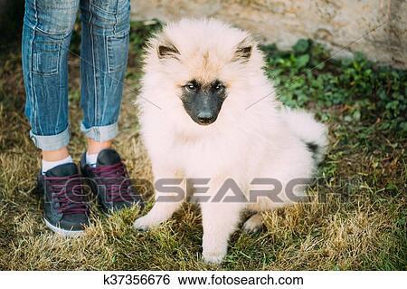 Grau Keeshound Keeshond Keeshonden Hund Oder Deutsch Spitz Wolfsp Stock Fotograf