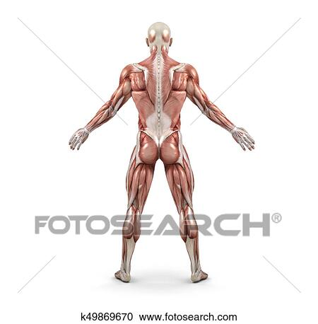 Stock Illustrations Of Rear View Of The Male Muscular System