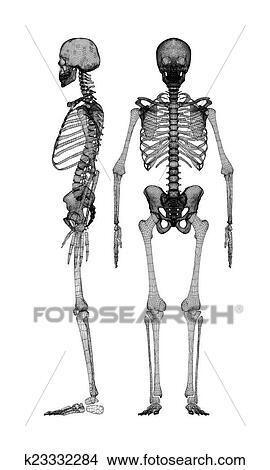 Dibujos - cuerpo humano, esqueleto k23332284 - Buscar Clip Art ...