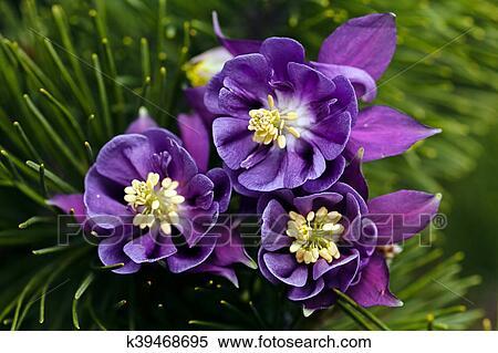 Dark Purple Columbine Stock Photography K39468695 Fotosearch