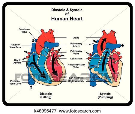 Clip Art - diástole, y, sístole, de, corazón humano, diagrama ...