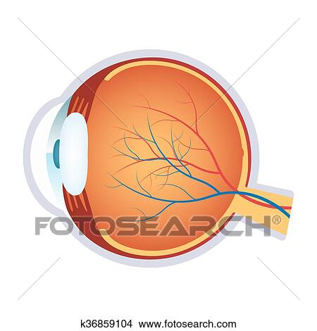 Clipart Of Illustration Of A Human Eye Anatomy K36859104 Search