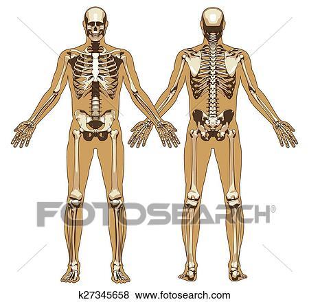 Clip Art - esqueleto humano, en, plano, cuerpo, plano de fondo ...