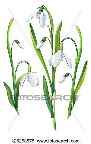 Stock Illustration Schneeglöckchen Blumen Freigestellt K26268575