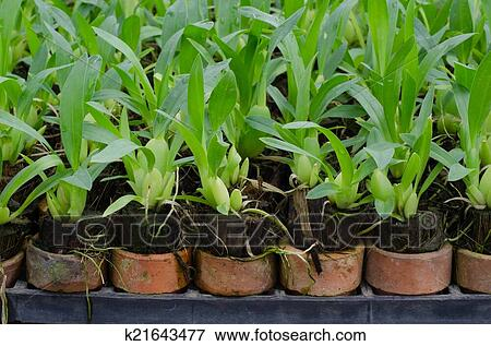 Orchid Flower Pots In A Plant Nursery