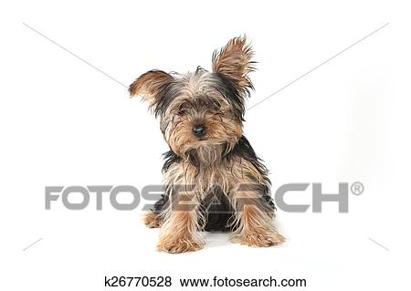Teacup Yorkshire Terrier On White