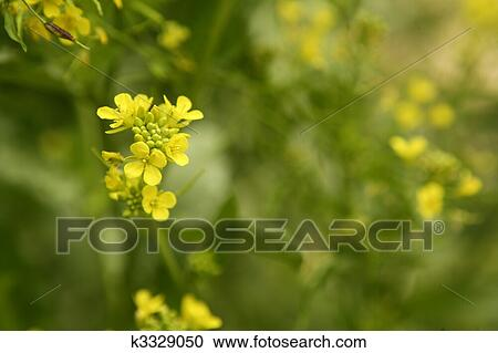 Stock Photography Of Mustard Flower Sinapis Aiba Yellow Flowers And