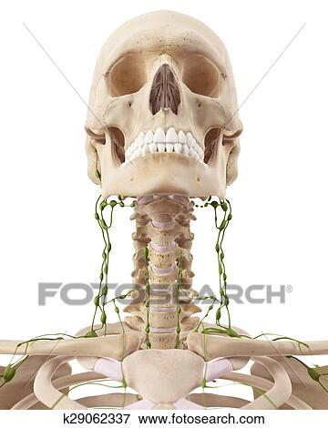 Stock Illustration of The cervical lymph nodes k29062337 - Search ...