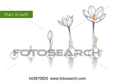 Colchique Fleur Plante Croissance évolution Concept Clipart