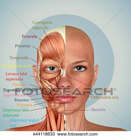 Drawing Of 3d Female Face Muscles Anatomy K44118633 Search Clipart