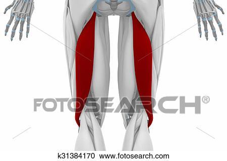 Colección de ilustraciones - bíceps, femoris, -, músculos, anatomía ...