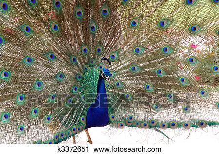 pauw, vogel, dans stock afbeelding | k3372651 | fotosearch