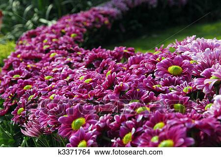 Stock photo of pink daisy flower bush garden k3371764 search stock an isolated shot of pink daisy flower bush garden mightylinksfo