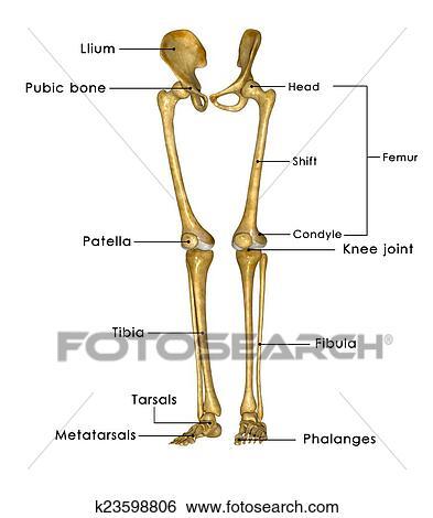 Stock Illustration - skelett, beine, mit, hüfte k23598806 - Suche ...
