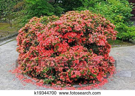 Struiken Met Bloemen Voor In De Tuin.Foto Van Een Struik In Japanse Tuin Met Intens Rode Bloemen Gefiltreerd En Stylized Om Te Resemble Een Olieverfschilderij Clipart