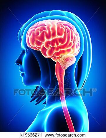 Clipart Of Female Brain Cross Section K19536271 Search Clip Art