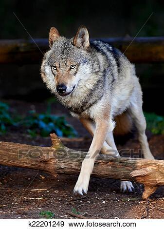 Lupo grigio canis lupus archivio fotografico k22201249