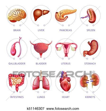 Clip Art of Human body internal organs medical vector flat isolated ...