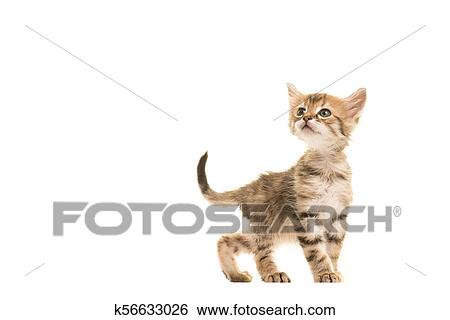 Stock Images Of Cute Tabby Turkish Angora Baby Cat Walking And