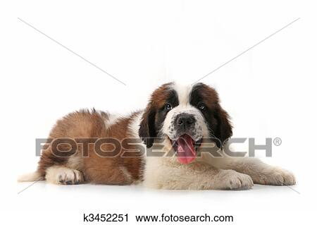 Stock Photography Of Panting Saint Bernard Puppy Lying On His