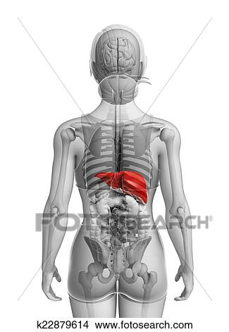 Drawings of Female liver anatomy k22879614 - Search Clip Art ...