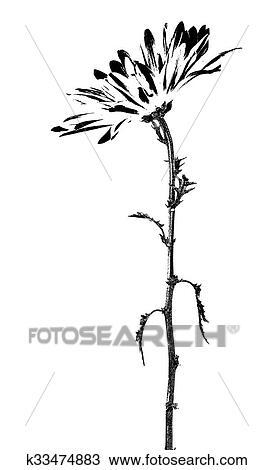 Noir Blanc Pâquerette Fleur Graphique Dessin