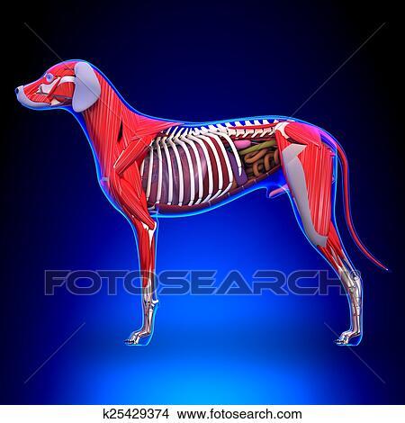 Drawings Of Dog Internal Organs Anatomy Anatomy Of A Male Dog