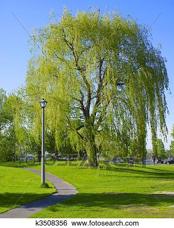 banque d 39 images grand saule pleureur arbre dans parc k3508356 recherchez des photos des. Black Bedroom Furniture Sets. Home Design Ideas