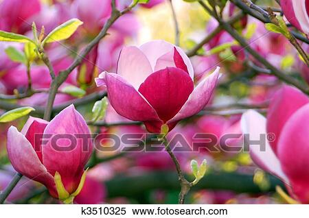 Stock image of bloomy magnolia tree with big pink flowers k3510325 bloomy magnolia tree with big pink flowers mightylinksfo