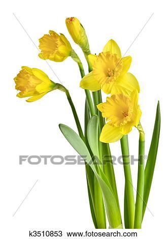 Stock photo of spring yellow daffodils k3510853 search stock spring yellow daffodil flowers isolated on white background mightylinksfo