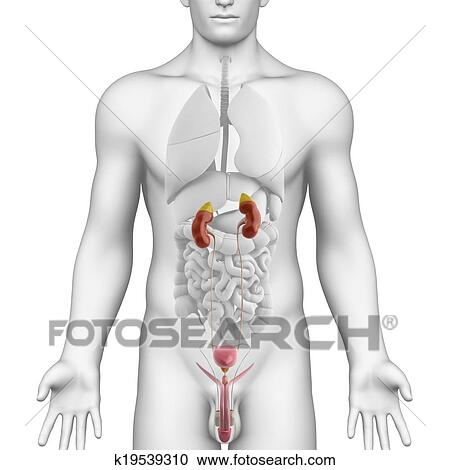 Stock Illustrations of Anatomy of male urinary system k19539310 ...