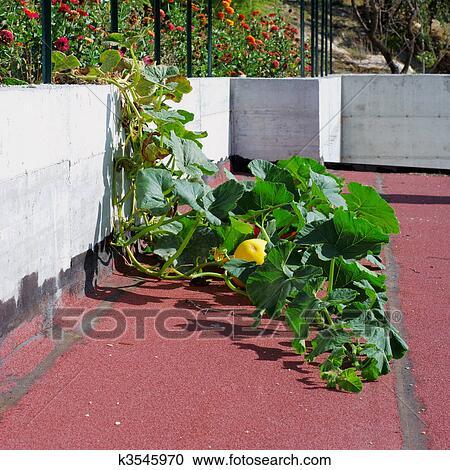Stock Fotografie Krabbelnd Kurbis Pflanze K3545970 Suche