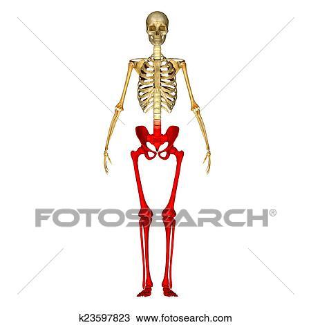 Drawing of Skeleton: Hip, Femur, Tibia, Fibula k23597823 - Search ...