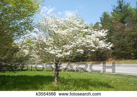Dogwood Tree Stock Photograph K3554566 Fotosearch