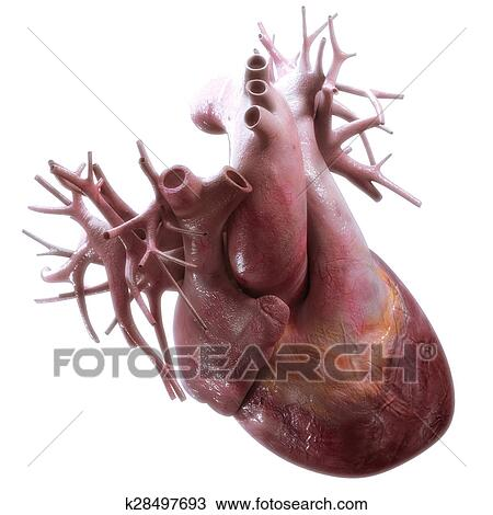 Drawing Of Human Heart Anatomy On White Background K28497693