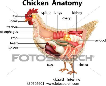 Clipart - diagrama, actuación, anatomía, de, pollo k39795601 ...