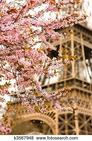 Spring in Paris  Bloomy cherry tree and the Eiffel Tower  Focus on flowers  Stock Photo