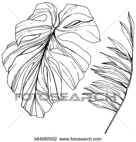 Vector Exotic Tropical Hawaiian Summer Black And White Engraved Ink Art Isolated Leaf Illustration Element Clipart K64560502 Fotosearch Palm, fan palm, monstera, banana leaves vector illustration in black and white colors eps10. vector exotic tropical hawaiian summer