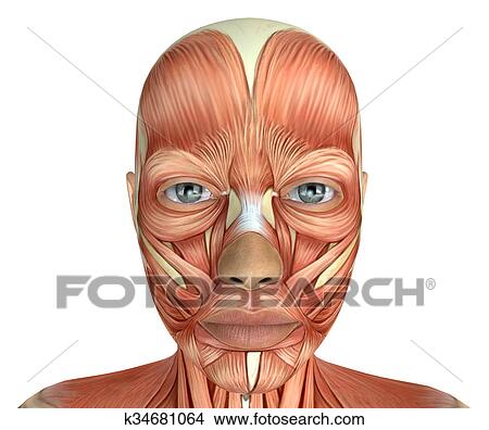 Drawings Of Female Face Muscles Anatomy K34681064 Search Clip Art