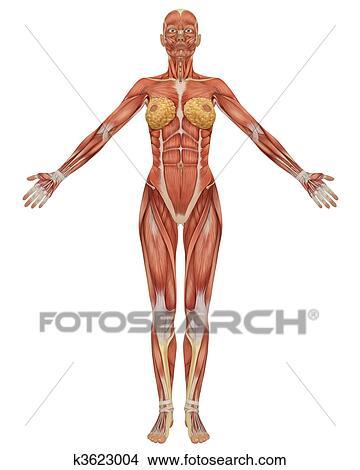 正面図 の 女性 筋肉 Anatomy イラスト K3623004 Fotosearch