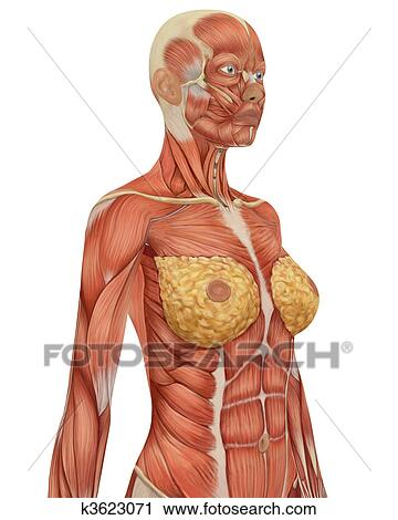 Clipart of Angled view of the upper body of the female muscular ...