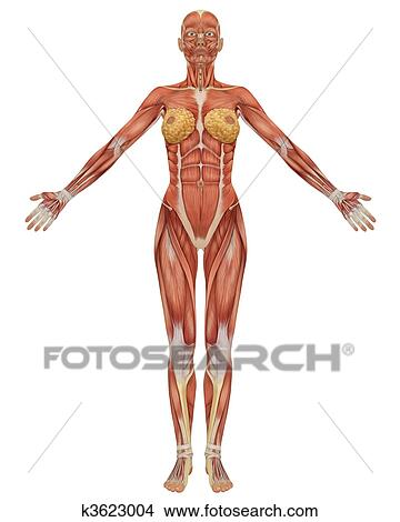 Drawings Of Front View Of The Female Muscular Anatomy K3623004