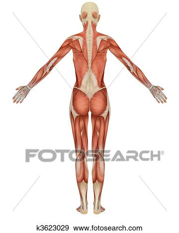 Stock Illustration Of Rear View Of The Female Muscular Anatomy