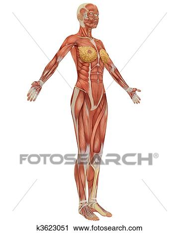 Clipart of Side view of the female muscular anatomy. k3623051 ...