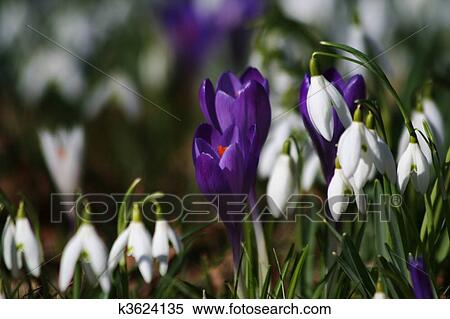 Stock image of wild spring flowers crocuses and snow drops k3624135 purple crocus perennial flowers of spring and snow drops mightylinksfo