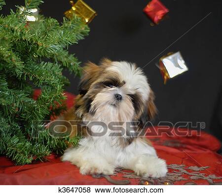 Shih Tzu Filhote Cachorro Sob árvore Natal Banco De
