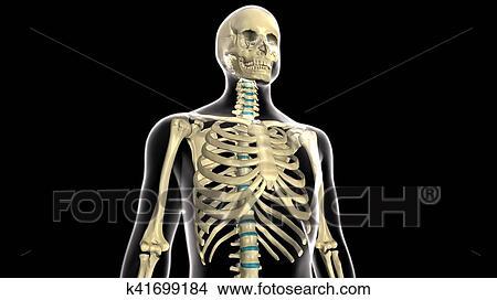 Colección de foto - 3d, ilustración, de, cuerpo humano, costillas ...